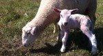 A surprise summer lamb and its mother at Essex Farm (Credit: Kristin Kimball)
