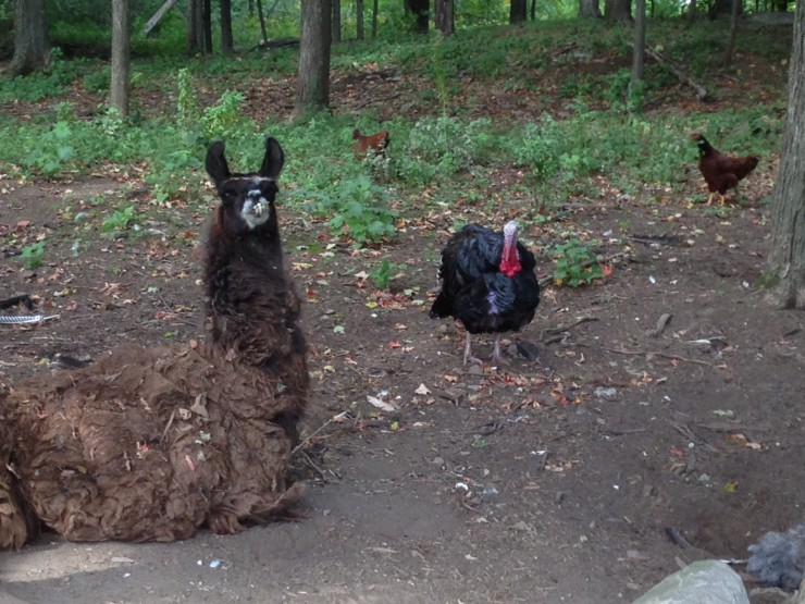 Llama and Turkey (Photo: Jonathan Pribble)