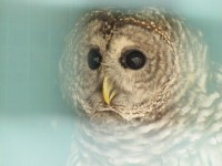 Helen, a Barred Owl used for educational purposes at the Refuge. (Credit: Eve Ticknor)