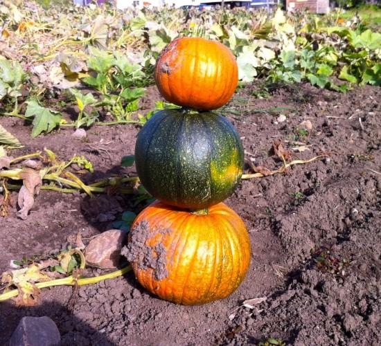 Pumpkins at Essex Farm