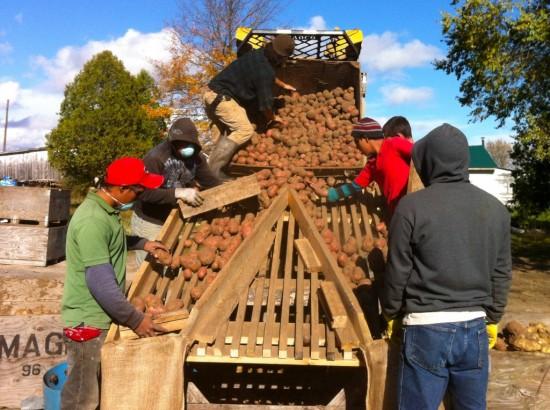 Bagging potatoes at Essex Farm. (Credit Kristin Kimball)