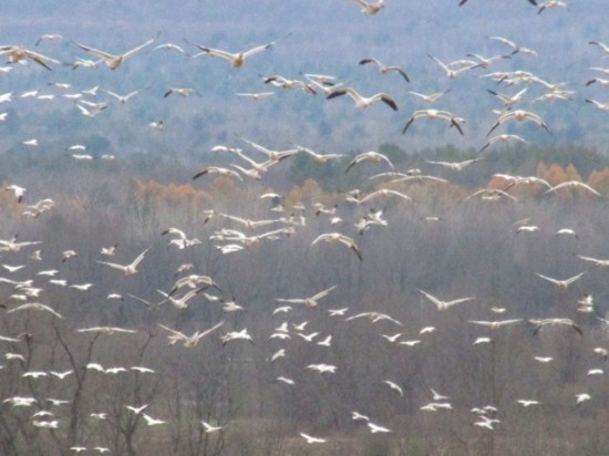 Snow Geese Flying (Credit: Eve Ticknor)