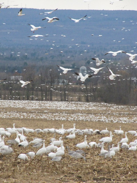 Snow Geese on the ground and many in flight (Credit: Eve Ticknor)