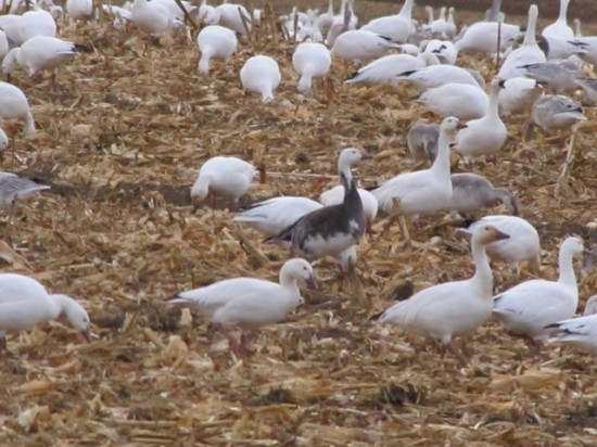 Snow Geese on the ground foraging (Credit: Eve Ticknor)
