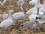 Snow Geese close up: Looks like one has a tag on it's neck. (Credit: Eve Ticknor)