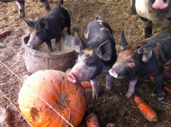 Piglets and pumpkins at Essex Farm (Credit Kristin Kimball)
