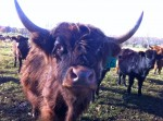 Curious cattle at Essex Farm (Credit Kristin Kimball)