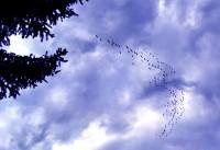 Canada Goose V-formation