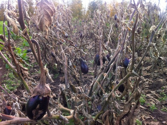 End of the eggplants at Essex Farm this fall (Credit: Kristin Kimball)