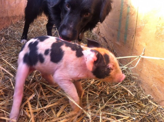 Pancake the piglet and Mary the dog (Credit: Kristin Kimball)