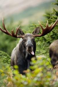 Bull Moose (Credit: Pixabay)