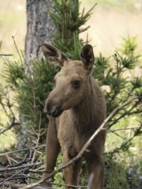 Moose Calf (Credit: Pixabay)