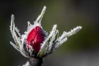 Snow Rose (Credit Pixabay)