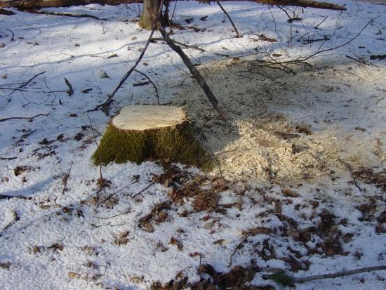 Clean cut stump (Credit: Kathryn Reinhardt)