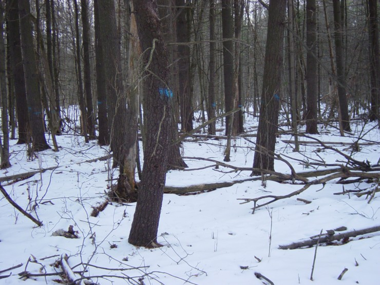 Marked trees by forester (Credit: Kathryn Reinhardt)