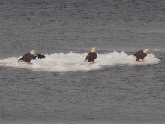 Bald Eagles floating on ice in Lake Champlain (Credit: Rebecca Palmer)