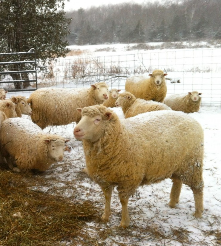 Sheep on Essex Farm, Feb. 2015 (Credit: Kristin Kimball)
