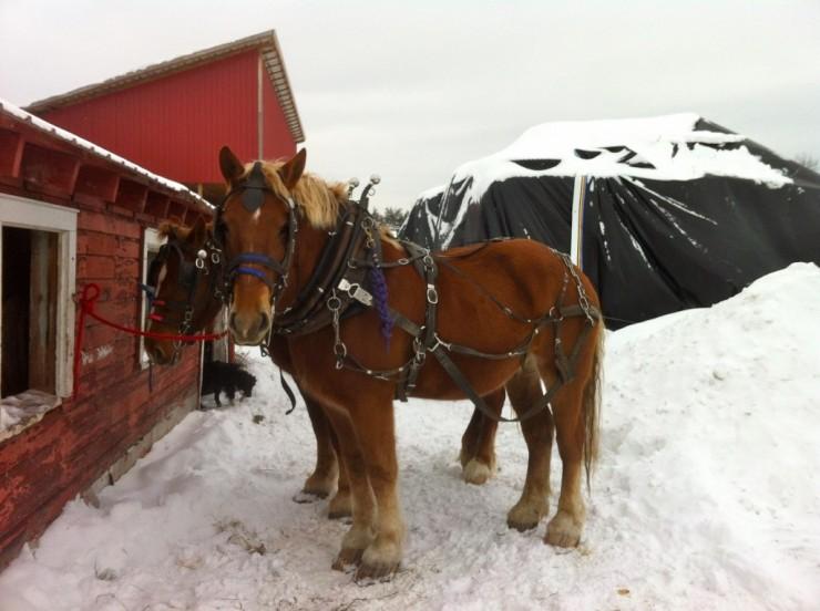 Draft horses at Essex Farm (Credit: Kristin Kimball)