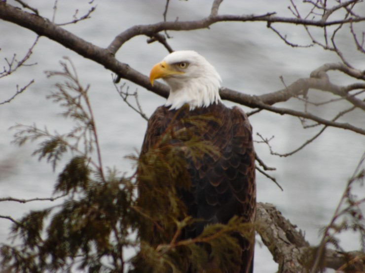 Bald Eagle in Essex, NY (Credit: Clarice Pulsifer)