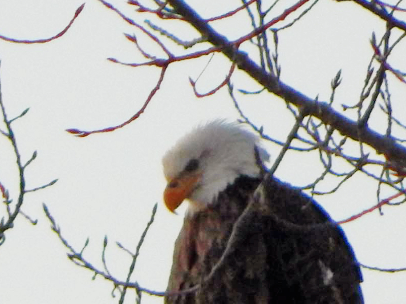 Bald eagle overlooking Lake Champlain (Photo: Beatrice Disogra)