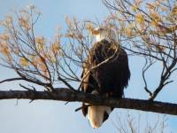 Bald eagle overlooking Lake Champlain (Photo: Beatrice Disogra)