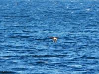 Bald eagle flying over Lake Champlain (Photo: Beatrice Disogra)