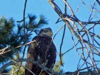 Juvenile bald eagle overlooking Lake Champlain (Photo: Beatrice Disogra)