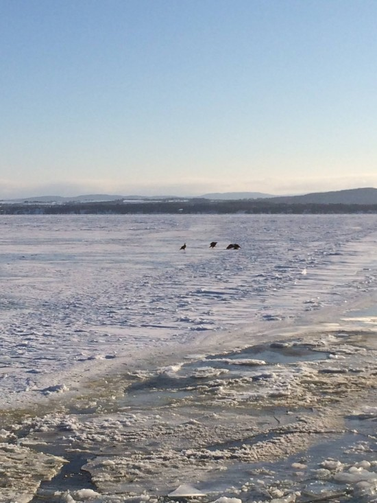 Bald eagles fighting for a fish on Lake Champlain February 2015 (Photo: Beatrice Disogra)