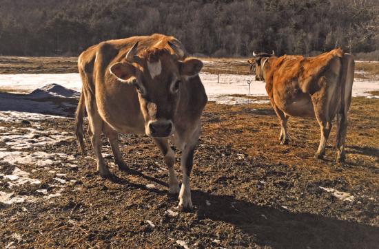 Full and By Farm Cattle (Photo: virtualDavis)