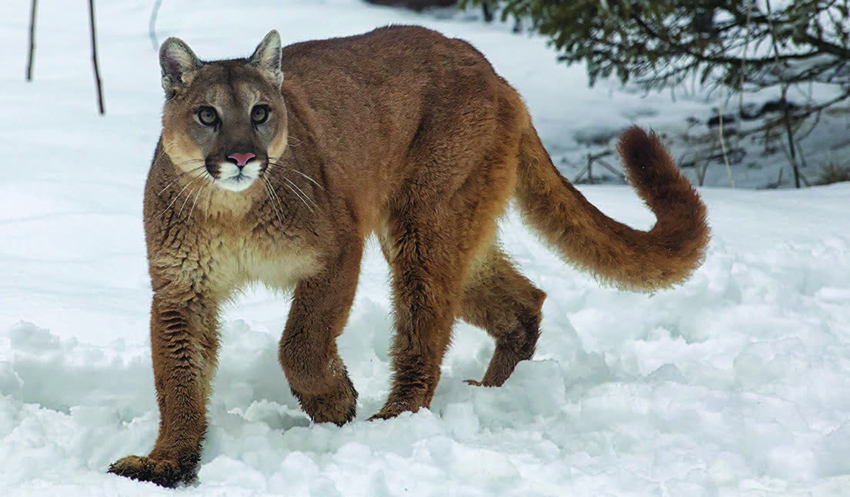 Adirondackers continue to report cougar sightings, but physical evidence is lacking. (Photo: BigStockPhoto.com)