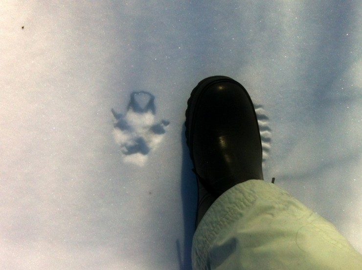 Coyote track in Essex Farm sugarbush (Credit: Kristin Kimball)
