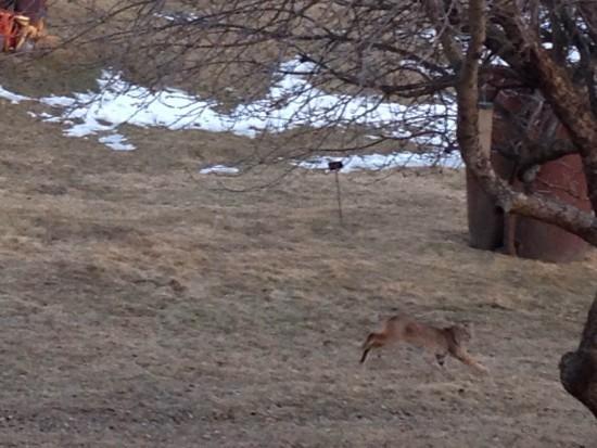 Bobcat running (Credit: Kathryn Cramer)