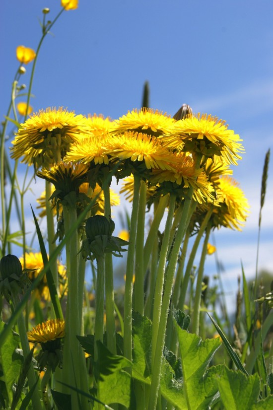 Spring Flowers: Dandelions & Buttercups (Credit: Pixabay)