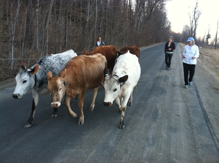 Heifers on Parade (Credit: Sara Kurak)