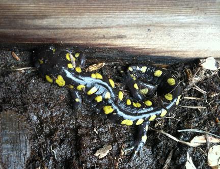 Spotted Salamander (Credit: Sara Kurak)