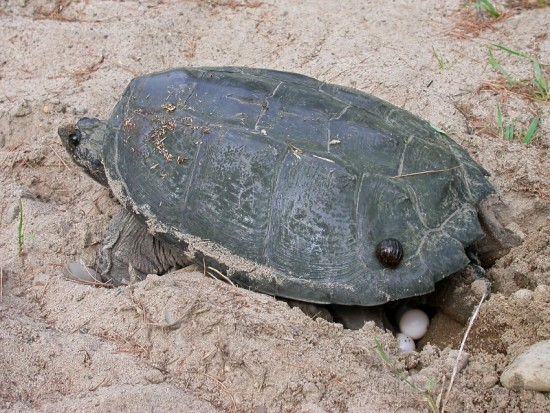 Snapping Turtle (Chelydra serpentina) laying eggs, by Larry Master (www.masterimages.org)