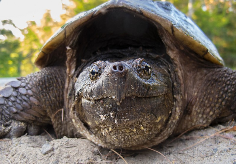 Snapping Turtle (Chelydra serpentina), by Larry Master (www.masterimages.org)