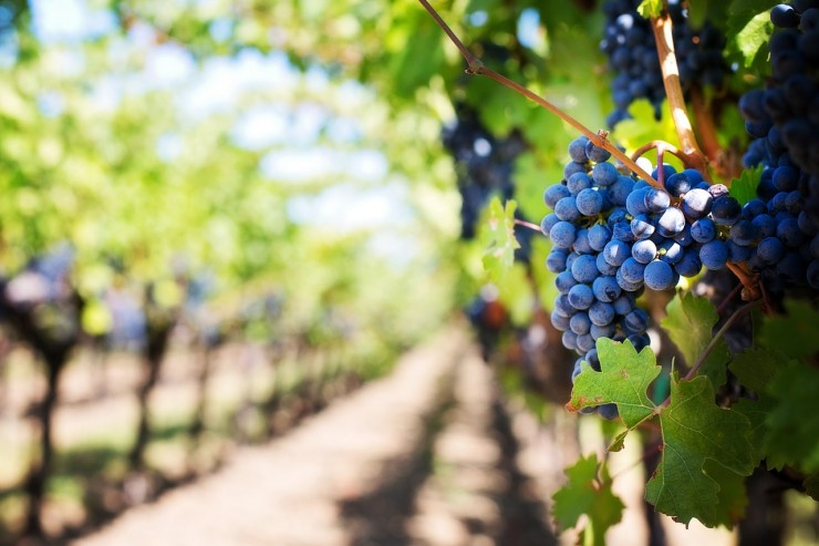 Grapes growing in vineyard (Credit: Pixabay)