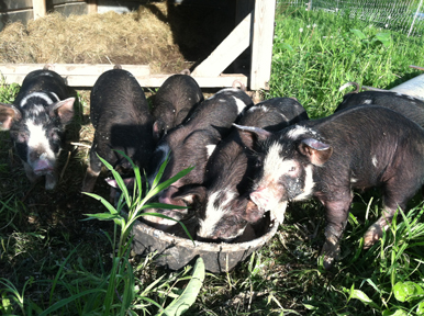 Piglets at Full and By Farm, Spring 2015 (Credit: Sara Kurak)