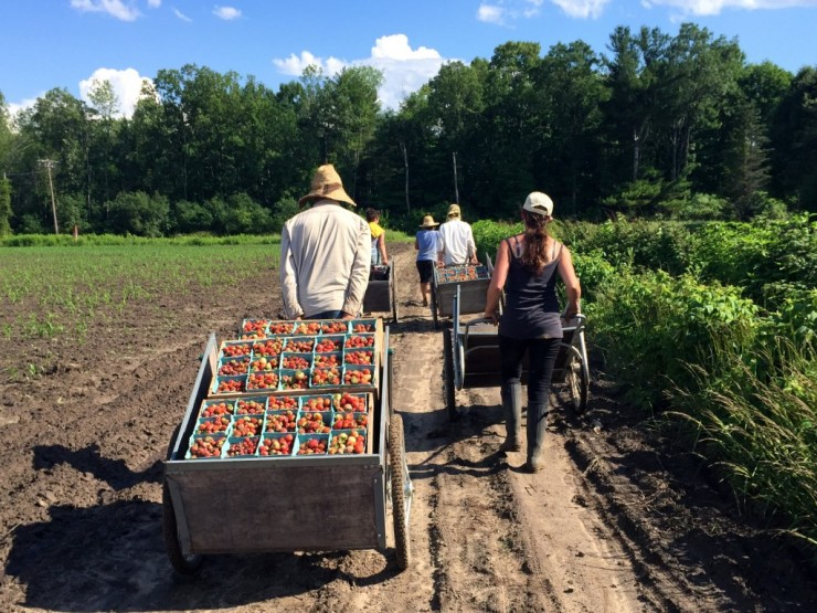 Carting strawberries at Essex Farm. (Credit: Kristin Kimball)