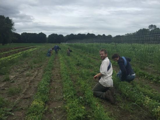 Picking peas at Essex Farm before the rain hits... (Credit: Kristin Kimball)