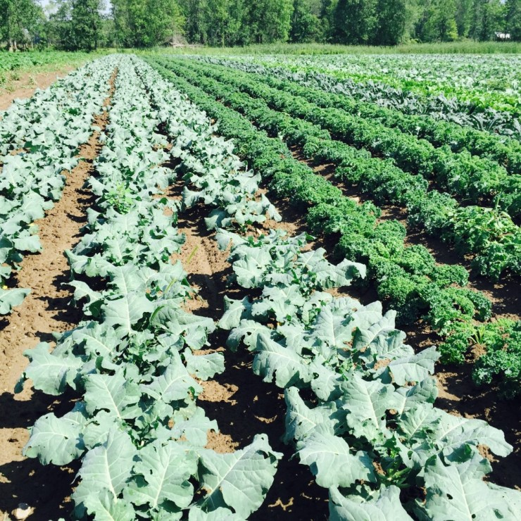 Rows of crops growing in an Essex Farm field (Credit: Kristin Kimball)