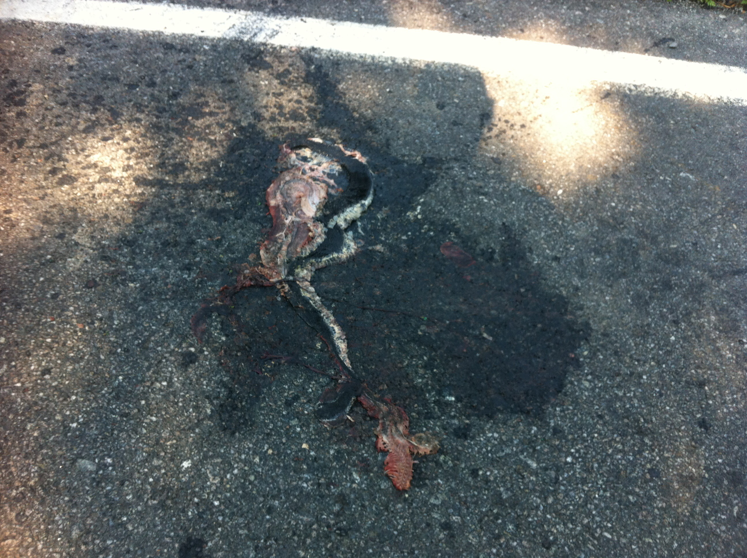 Avoiding Roadkill: Timber rattlesnake killed on Lake Shore Road (Source: John Davis)