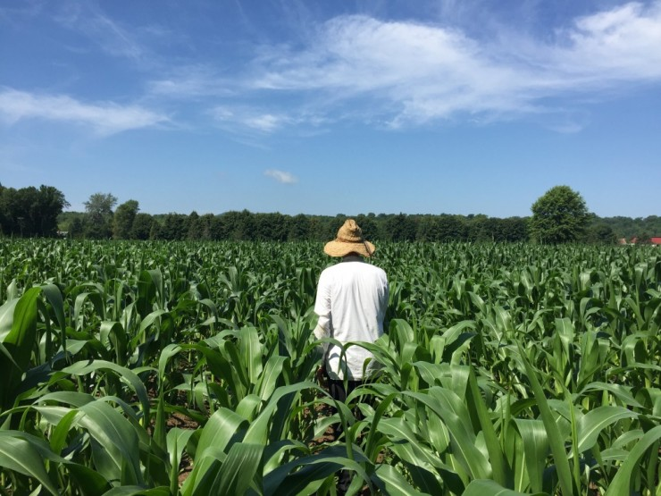 Growing corn at Essex Farm (Credit: Kristin Kimball)