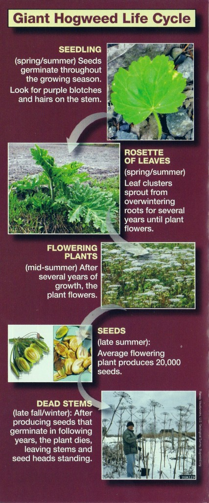 Life Cycle of Giant Hogweed