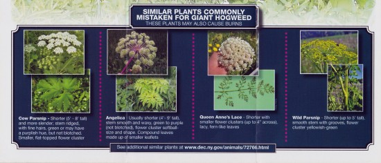Common Plants mistaken for Giant Hogweed. (Credit: NYDEC)