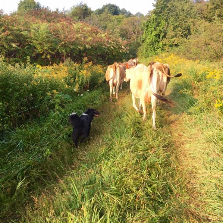 Mary herding cattle (Credit: Kristin Kimball)