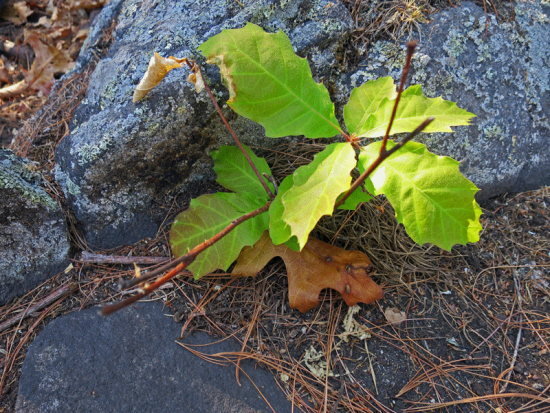 Re-sprouting Oak Tree Seedling: Split Rock Wild Forest ground fire (Source: virtualDavis)