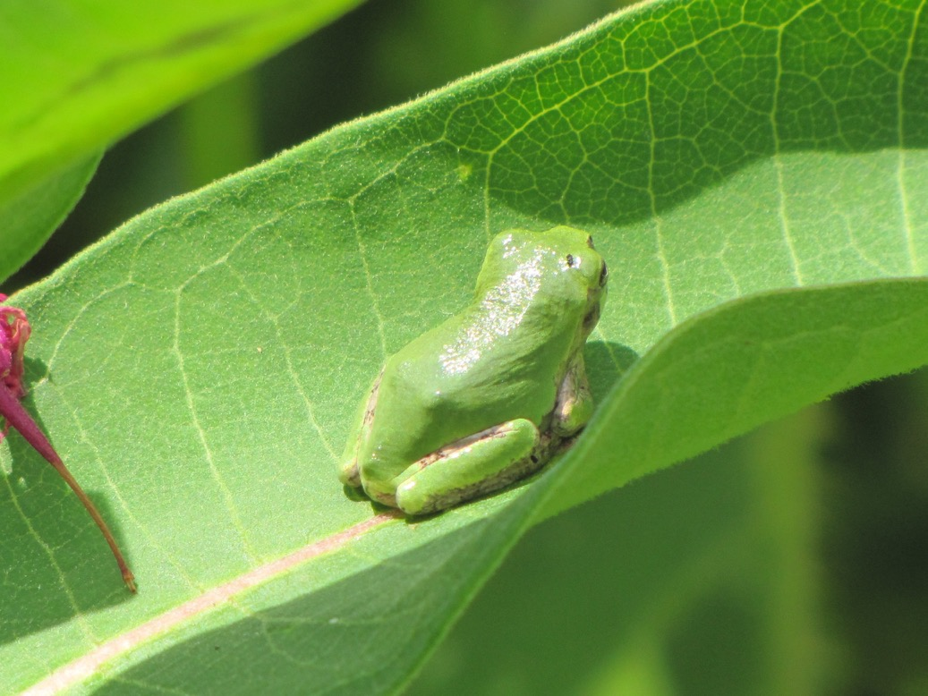 Tree Frog (Source: Eve Ticknor)