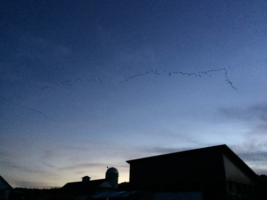 Geese Flying Over Barn at Essex Farm (Credit: Kristin Kimball)